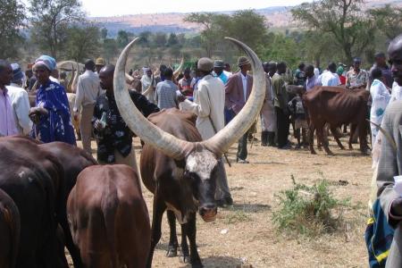 Au-delà de la prairie de Bandundu, les vaches rwandaises lorgnent les terres d'Angola